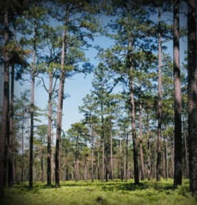When men came, the found a forest they could drive their wagons through. - Longleaf Alliance Photo