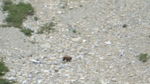 Grizzly bear near Many Glacier - Photo by Barry Campbell