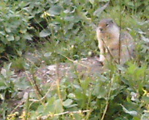 Ground Squirrel at Logan Pass - Photo by Lesa Campbell