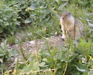 Ground Squirrel at Logan Pass - Photo by Lesa Campbell