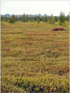 Mer Bleue Bog, a typical peat bog, in Ontario - Wikipedia photo