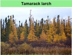 Tamarack in Autumn - Wikipedia photo.