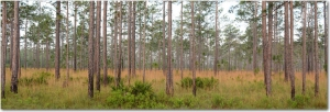 Pine flatwoods, typical of much of the areas national forests