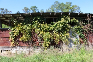 Vines do their work slowly, but thoroughly.