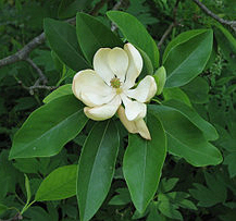 Sweetbay Magnolia - Wikipedia photo